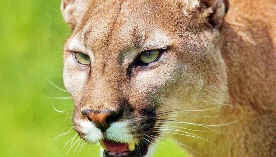У США гірський лев напав на хлопчика: мати самотужки відбивалася